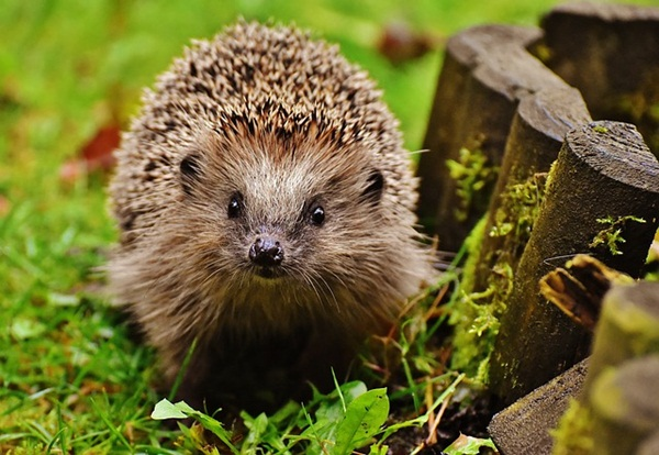 hedgehog-child-1759027_640.jpg