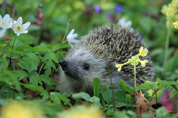 hedgehog-548335_640.jpg